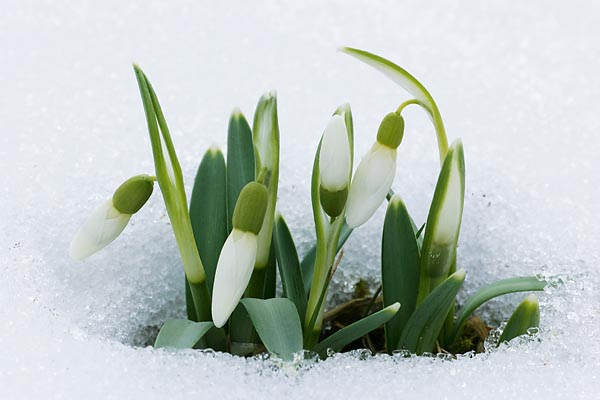 ./UserFiles/Image/Other43/snowdrop.jpg